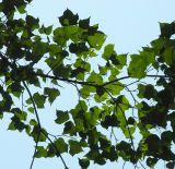 Acer tenellum