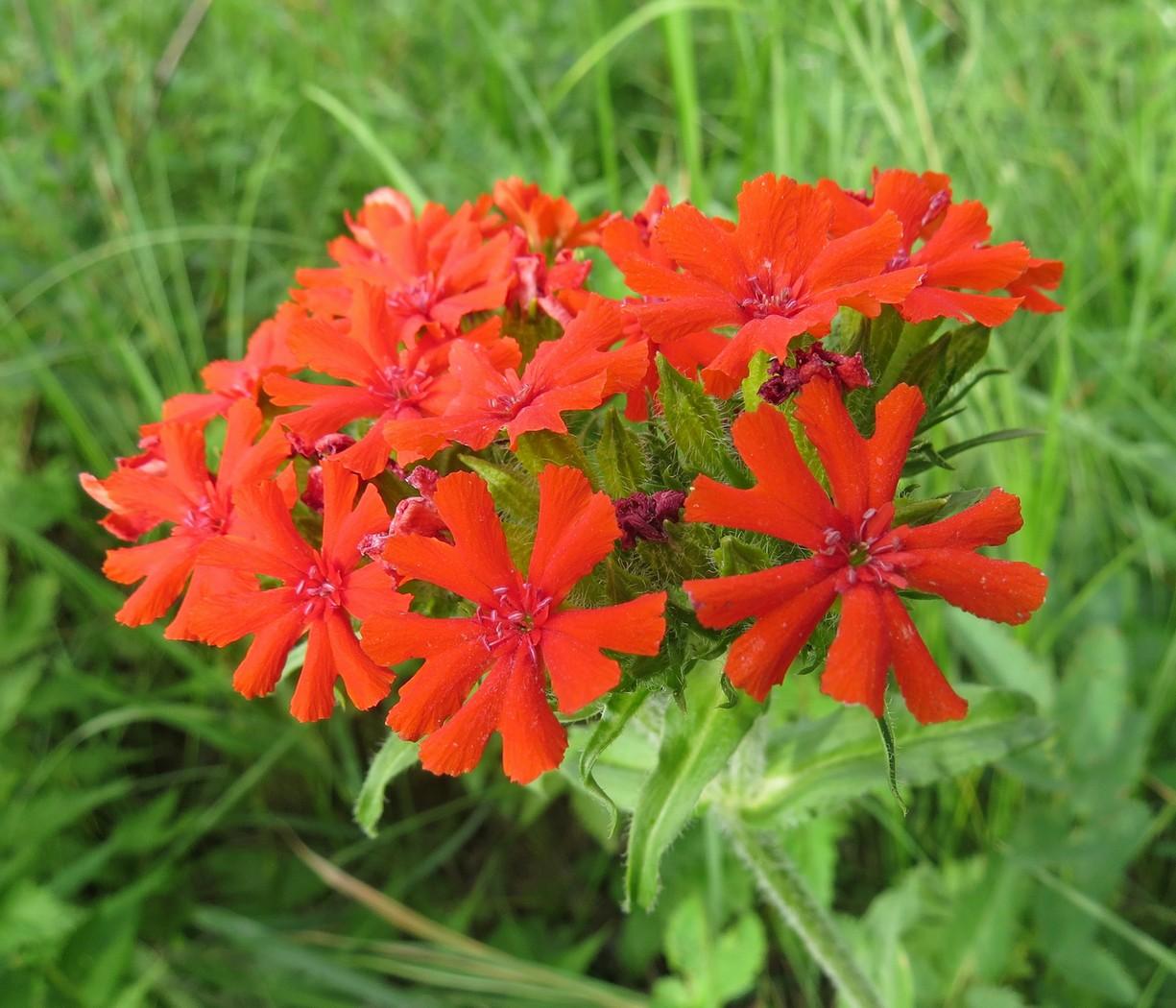 Цветы лихнис халцедонский фото