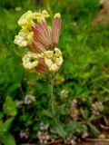 Silene cephalantha