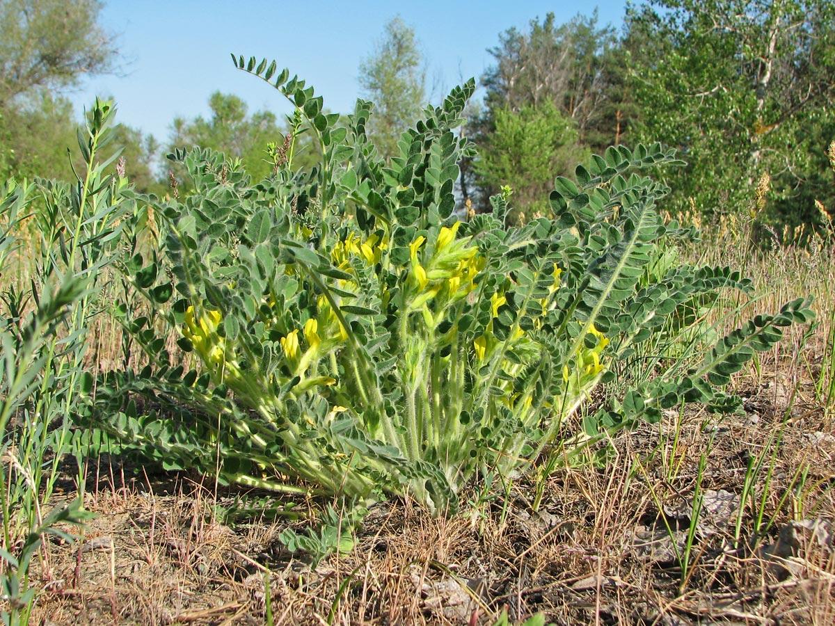 Изображение растения Astragalus tanaiticus.