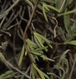 Lampranthus falcatus