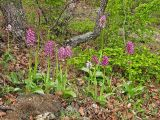 Orchis × angusticruris