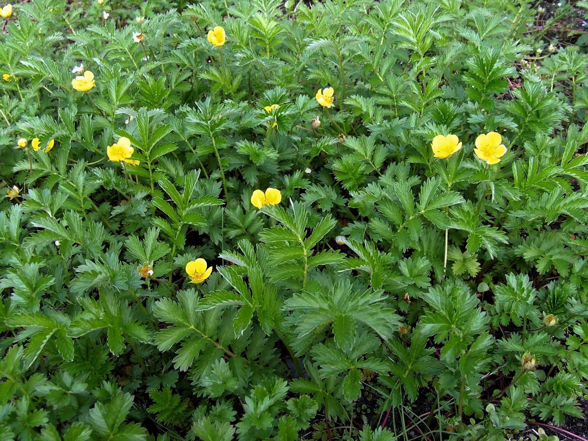 Фото цветка лапчатка гусиная