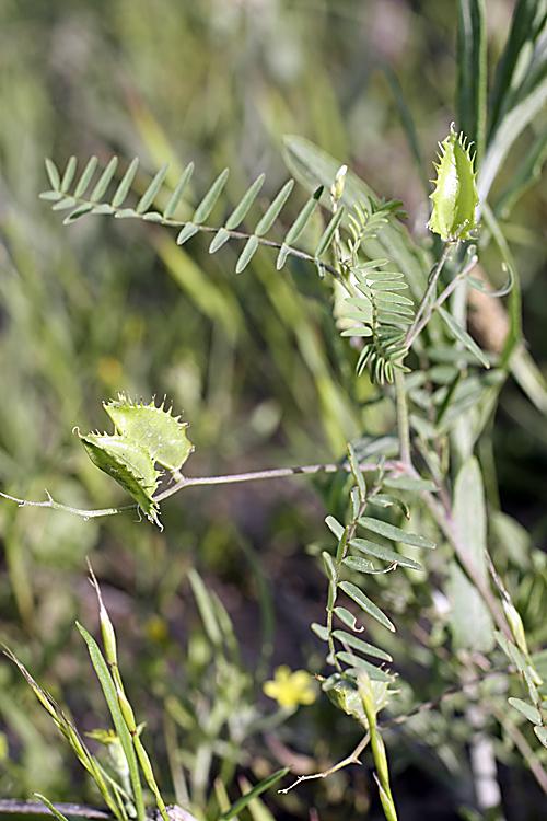 Изображение растения Astragalus schmalhausenii.