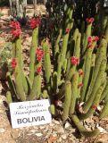 Borzicactus samaipatanus