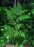 Pteridium pinetorum ssp. sajanense