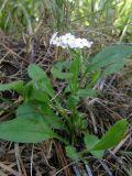 Myosotis lithospermifolia