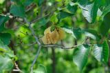 Ulmus macrocarpa