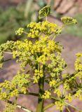 Ferula ferganensis