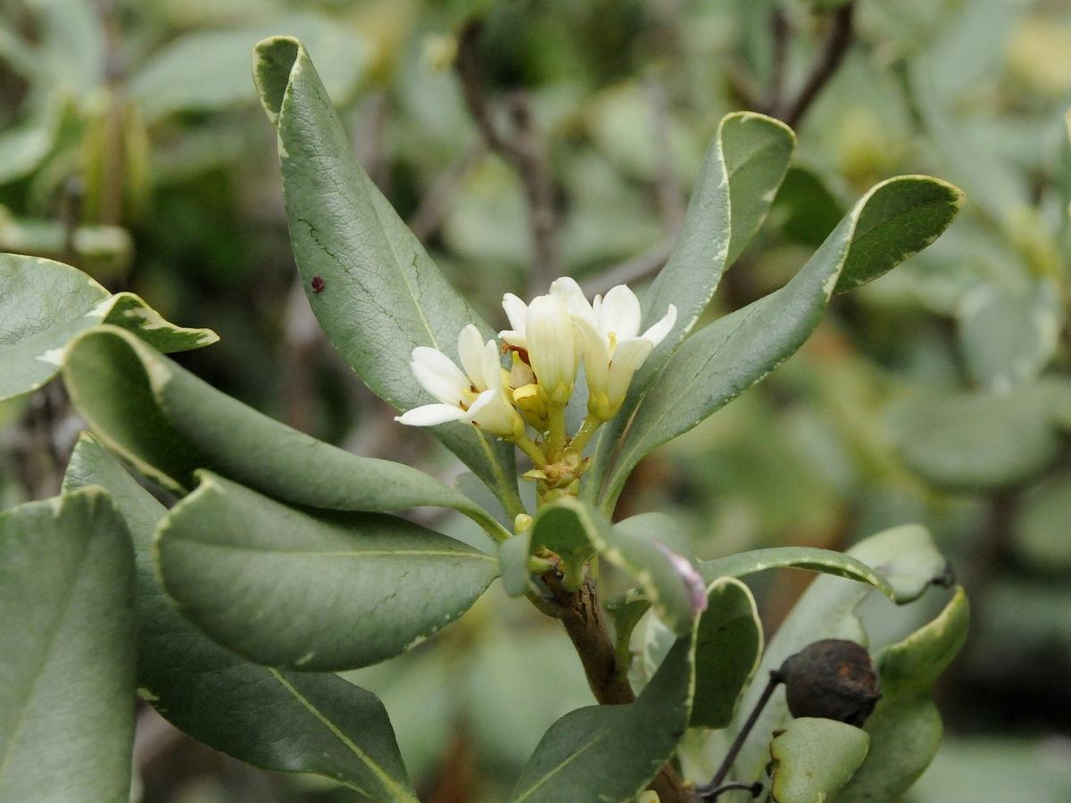 Pittosporum colensoi  NatureWatch NZ