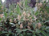 Salix glauca