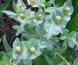Euphorbia yaroslavii