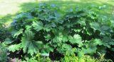Ligularia yoshizoeana