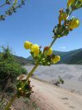 Phlomoides tadschikistanica