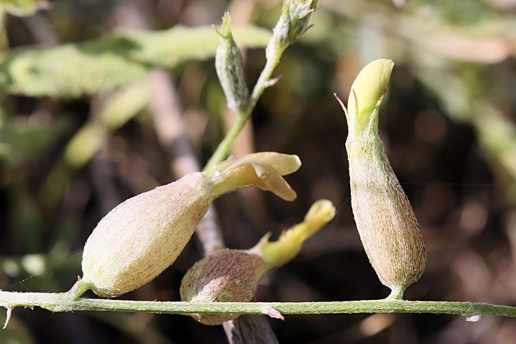 Изображение растения Astragalus krauseanus.