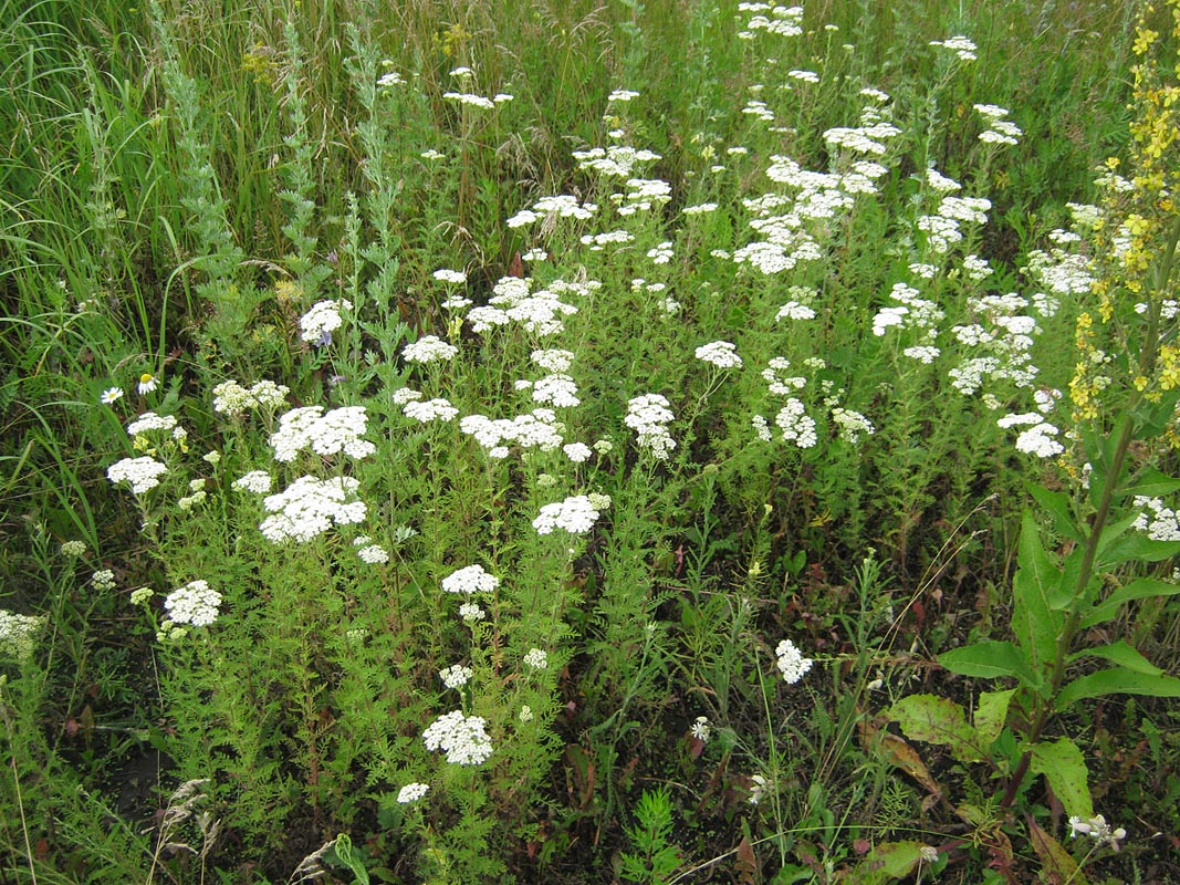 растение фото тысячелистник