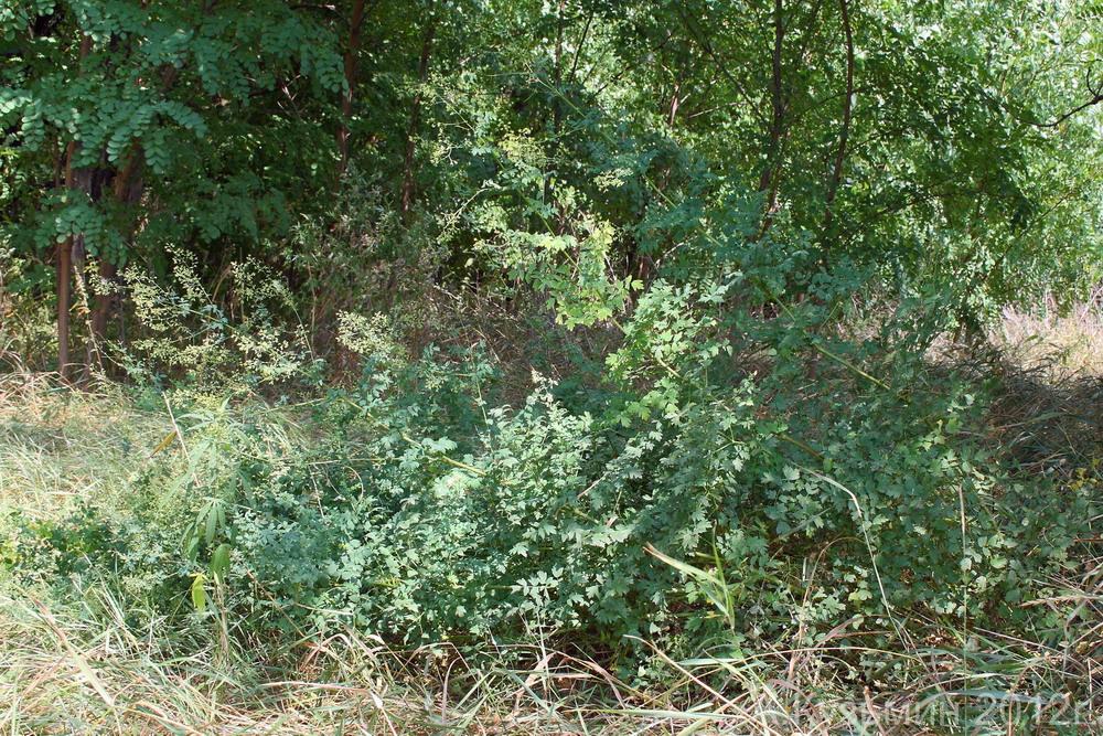 Василисник малый (Thalictrum minus)