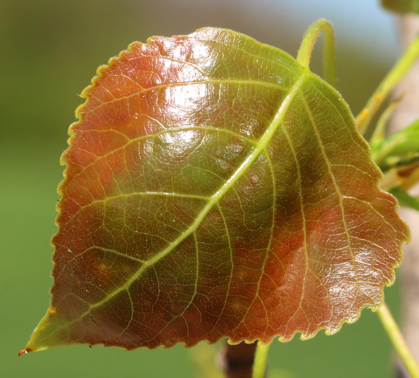 это вянущие листья тополя фото что причиной этому