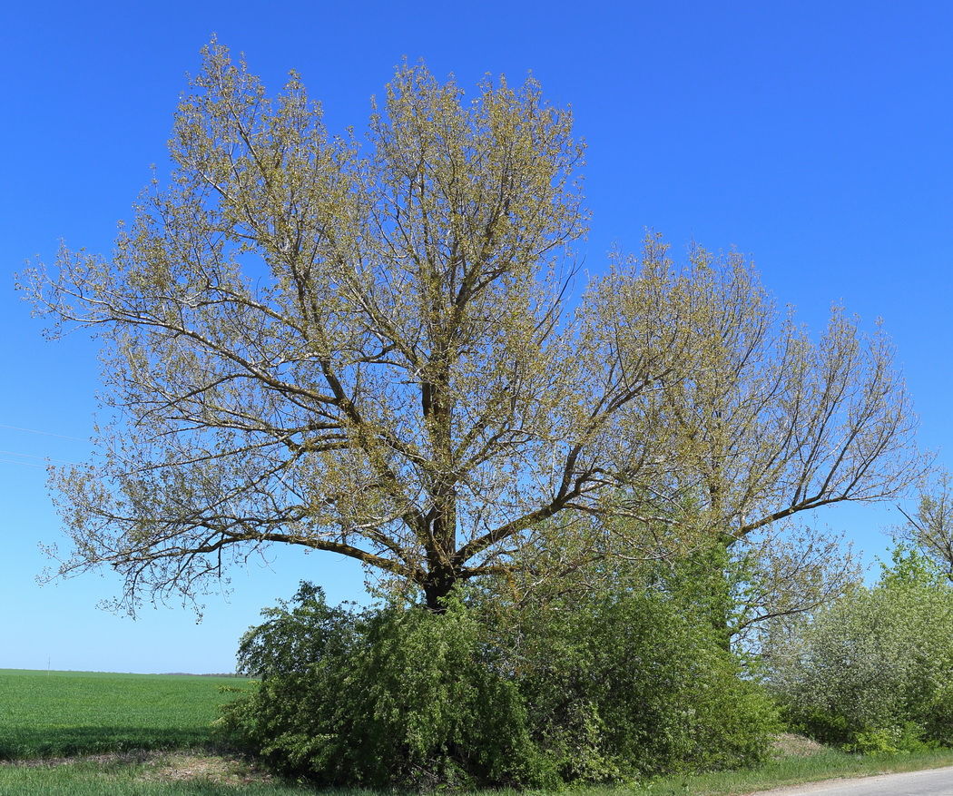 Тополь дельтовидный (Populus deltoides)