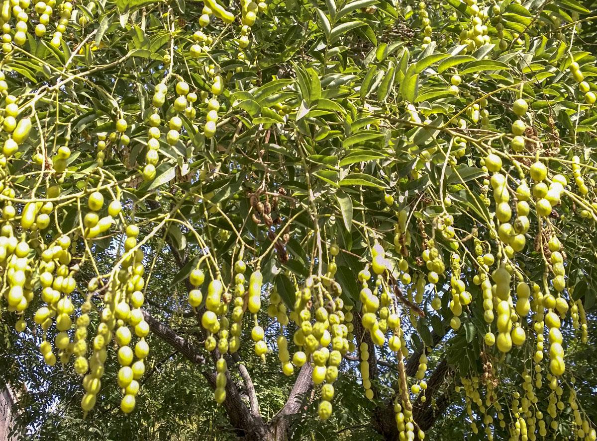 Изображение растения Styphnolobium japonicum.