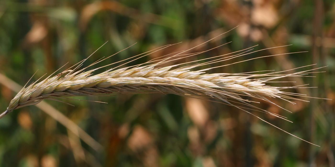 Рожь посевная (Secale cereale)