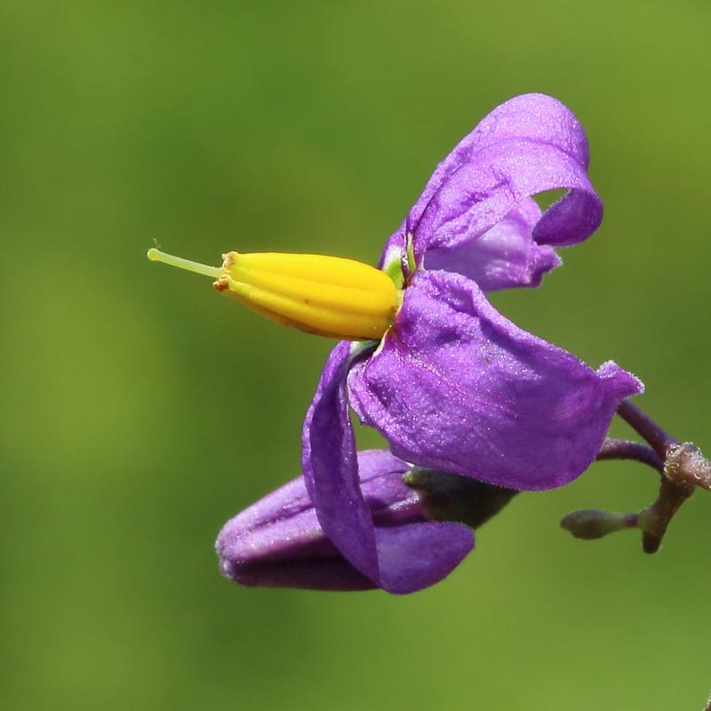 Паслён сладко-горький (Solanum dulcamara)