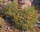Astragalus pachyrrhizus