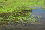 Agrostis stolonifera