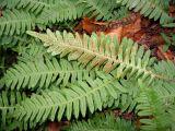 Polypodium × mantoniae