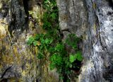 Fumariaceae