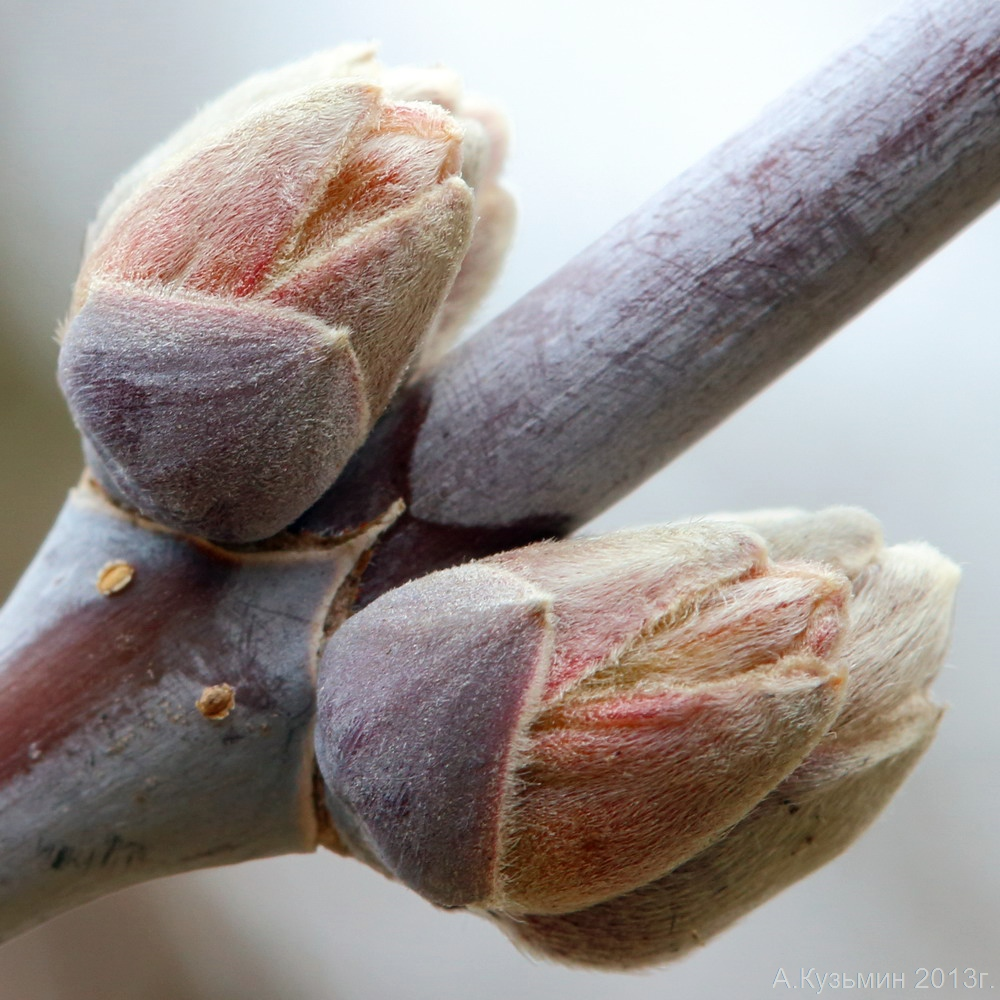 Клён американский (Acer negundo)