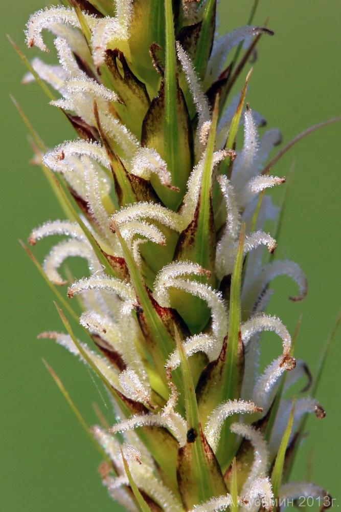Осока Carex × toezensis