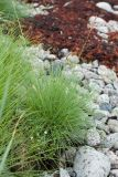 Festuca richardsonii