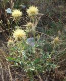 Centaurea sosnovskyi