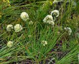 Allium tuvinicum
