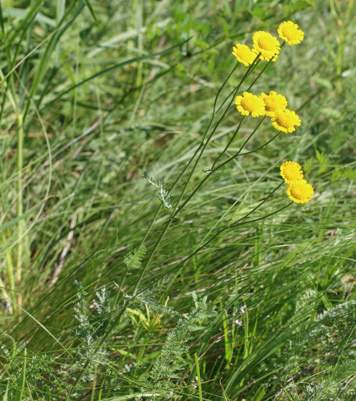 Пижма тысячелистная (Tanacetum millefolium)