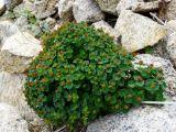 Euphorbia lucorum