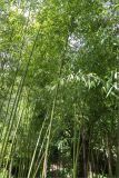 род Phyllostachys