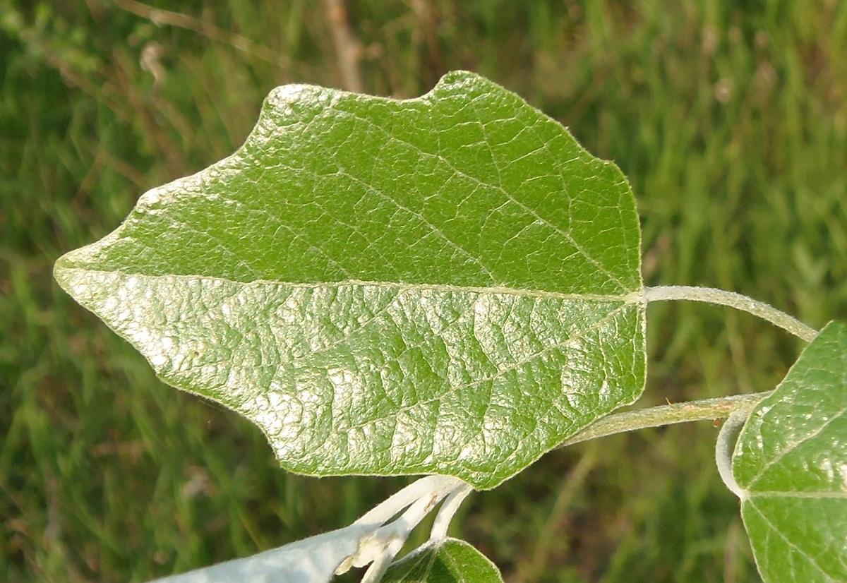заходила вянущие листья тополя фото примере легче