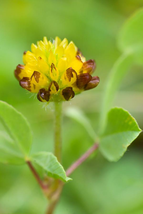 Изображение растения Trifolium spadiceum.