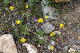 Ranunculus olgae