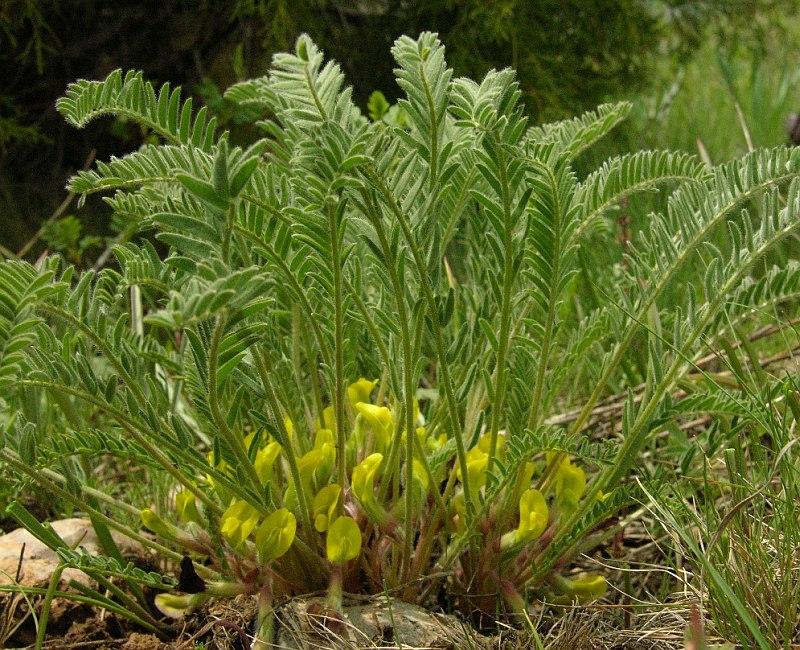Изображение растения Astragalus titovii.