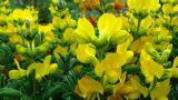 Thermopsis jacutica