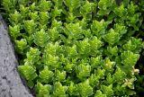 Honckenya peploides ssp. diffusa