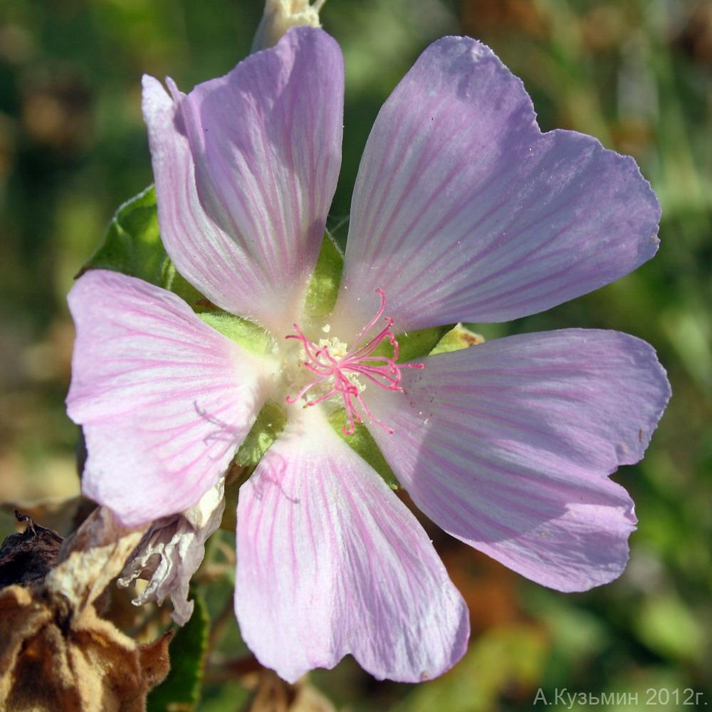 Хатьма тюрингийская (Lavatera thuringiaca)