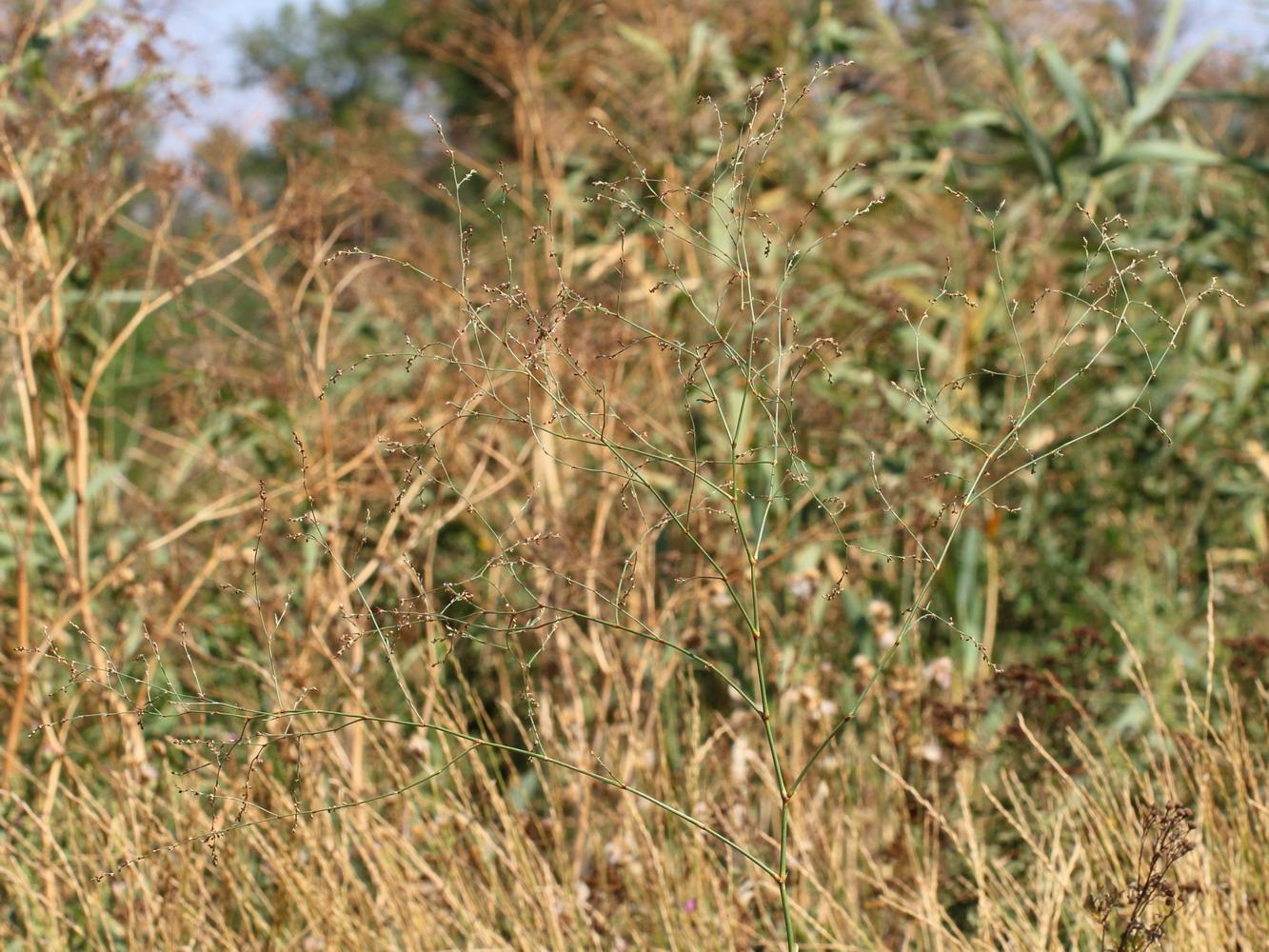 Спорыш новоасканийский (Polygonum novoascanicum)