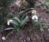 Galanthus bortkewitschianus
