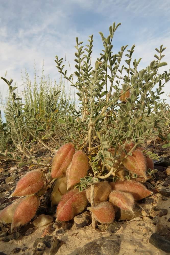 Изображение растения Astragalus lasiophyllus.