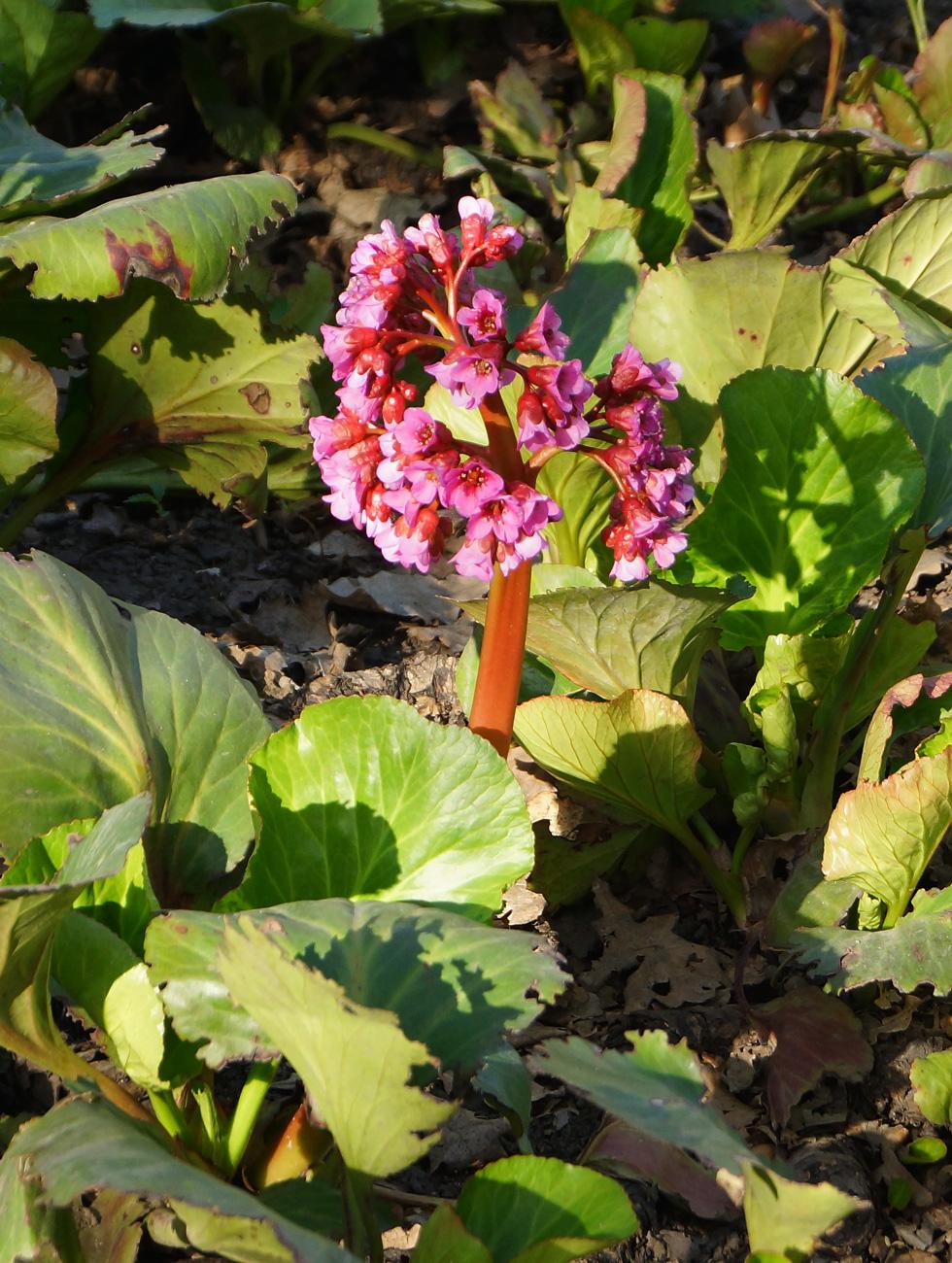 Бадан толстолистный выращивание 10