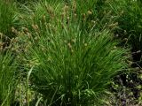 Carex appendiculata